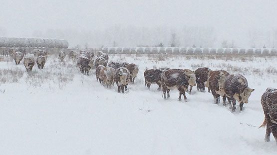 Winter weather - cattle